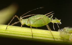 Aphids