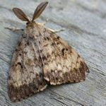 Pest alert-Gypsy moth
