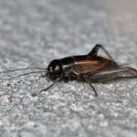 house cricket