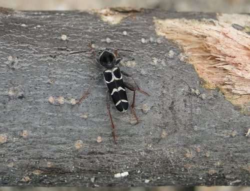 Firewood Pests