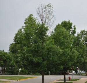Emerald Ash Borer Canopy Damage