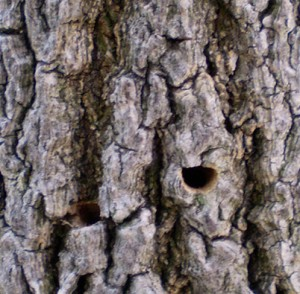 D-Shaped Emerald Ash Borer Hole