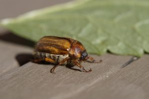 June Beetle started out as a grub, Grub Control