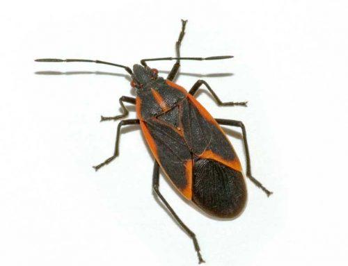 Green T Pest Alert: Boxelder Bugs