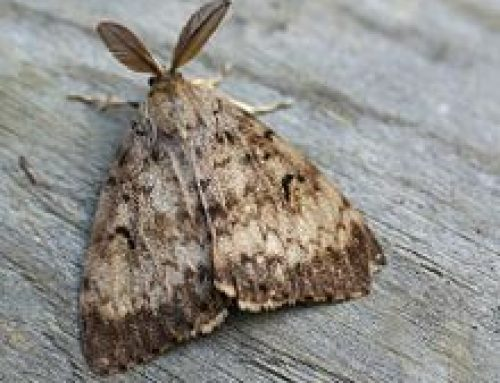 Illinois Gypsy Moth Quarantine