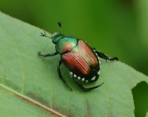 Japanese beetle identification