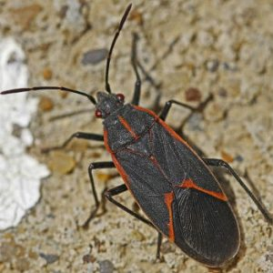 Box Elder Bug Close Up